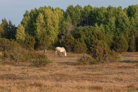 White horse grazing in alvar grassland in Harilaid peninsula on warm summer evening, Saaremaa, Estonia Banco de Imagens