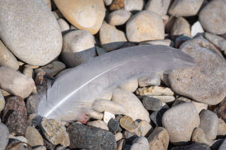 Closeup of white bird feather lying on the pebbles on seaside