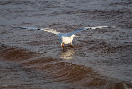 Black-headed gull in the flight hunting over the wavy water of Baltic sea Banco de Imagens