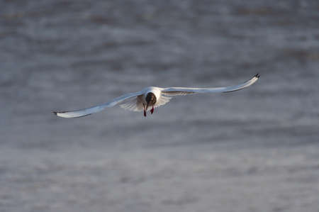 Black-headed gull in the flight over the water of Baltic sea