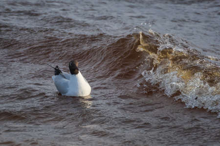 Black-headed gull swimming in the wavy water of Baltic sea