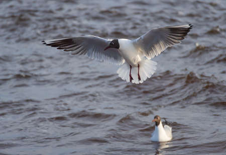 Two black-headed gulls - one swimming and one  in the flight over the wavy water of Baltic sea