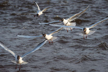 Several black-headed gulls in the flight over the wavy water of Baltic sea