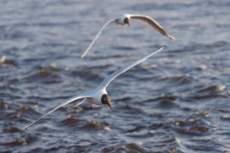 Two black-headed gulls in the flight over the wavy water of Baltic sea Banco de Imagens