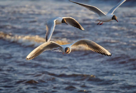 Three black-headed gulls in the flight over the Wavy water of Baltic sea