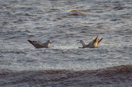 Pair of young birds of European herring gull quarreling in the water of Baltic sea