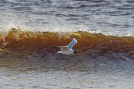 Black-headed gull in the flight over the Wavy water of Baltic sea Banco de Imagens