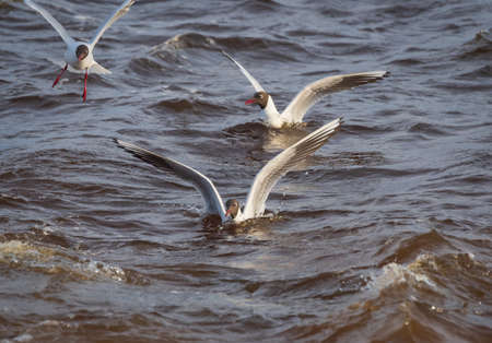 Several black-headed gull rising out and landing and swimming in the water of Baltic sea Banco de Imagens