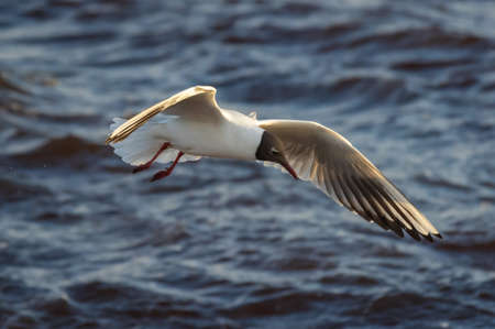 Black-headed gull in flight over  the water of Baltic sea