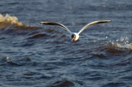 Black-headed gull in the flight over the wavy water of Baltic sea