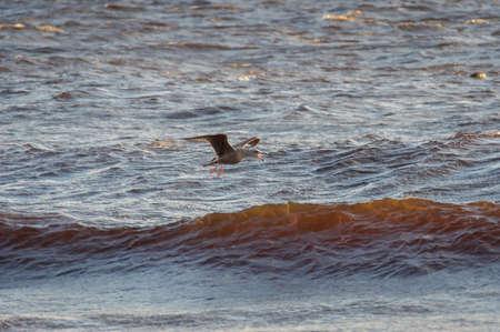 Young bird of European herring gull flying over the wavy water of Baltic sea Banco de Imagens