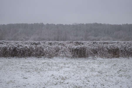 Snowfall over the winter fields. Forest in the background, field with dry Canada goldenrod in foreground