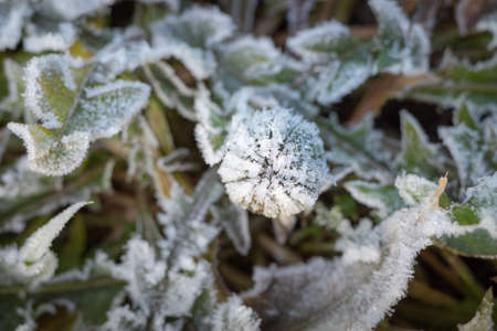 Green leaves and bud of dandelion covered with white frost crystals