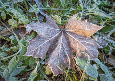 Dry brown maple leaf on the ground covered with white frost crystals Banco de Imagens