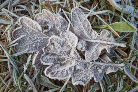 Dry brown oak leaves on the ground covered with white frost crystals