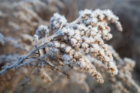 Dry brown flower of Canada goldenrod covered with white frost crystals Banco de Imagens