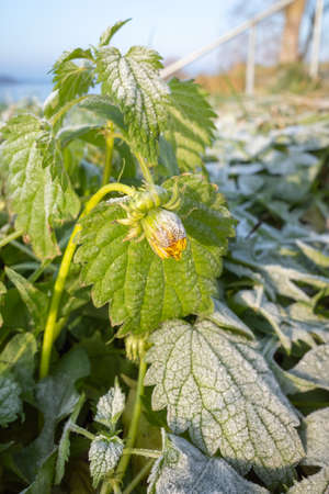 Green leaves of nettle and yellow flower of dandelion covered with white frost crystals with blue sky in the background Banco de Imagens