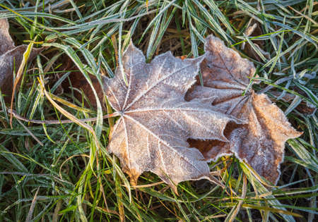 Dry brown maple leaves on the ground covered with white frost crystals
