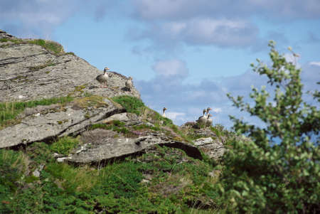 Several greylag geese perched on the cliff of Lovund island on sunny summer day against background of blue sky Banco de Imagens