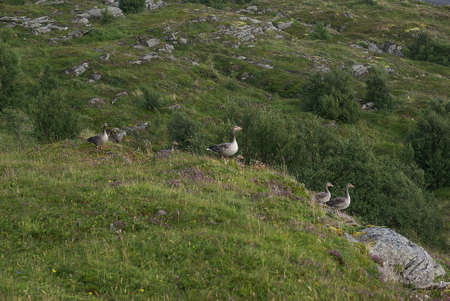 Several greylag geese perched on the cliff of Lovund island on sunny summer day Banco de Imagens