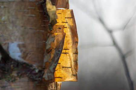 Closeup of backlit birch bark on the tree. Bare tree in the background