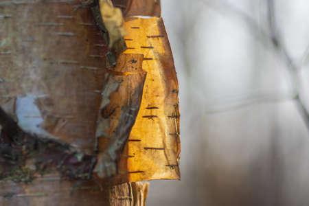 Closeup of backlit birch bark on the tree. Banco de Imagens