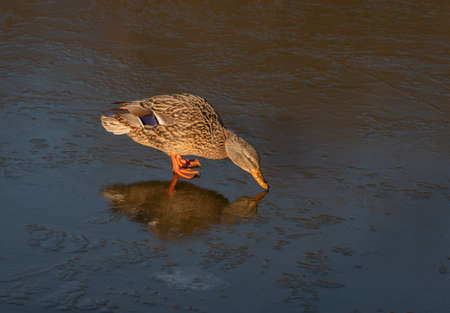 Female mallard duck standing on ice and looking at its reflection Banco de Imagens