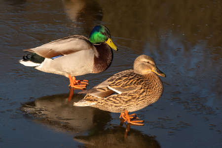 Closeup of two mallard duck standing on ice and reflecting in the water on ice