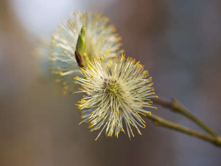 Closeup of two flowering yellow willow-catkins (pussy willows) with yellow pollen and green bud