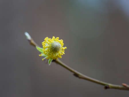 Closeup of small flowering yellow willow-catkin (pussy willow) with yellow pollen and green leaves