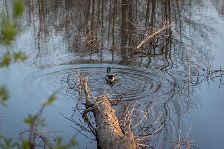 Male mallard duck swimming in the pond