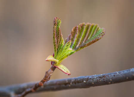 Closeup of alder tree bud in red and green colors in spring