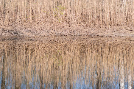 Reflection of dry yellow reeds and white birch trunk in the calm pond water Banco de Imagens
