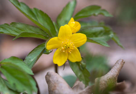 Closeup of yellow wood anemone (Anemonoides ranunculoides) flower surrounded by green leaves in the forest Banco de Imagens