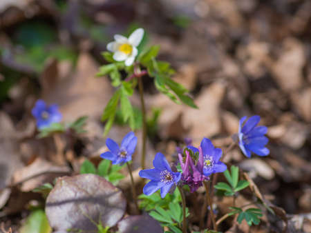 Bunch of  blue anemone hepatica flowers growing in the forest on sunny spring day.