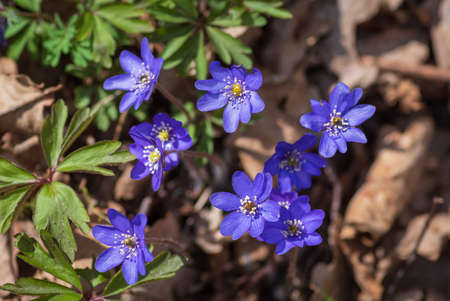 Top view to the bunch of blue anemone hepatica flowers growing in the forest on sunny spring day Banco de Imagens