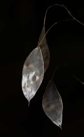 Closeup of back-lit shiny, translucent, elliptical, dry seed pods of lunaria rediviva (perennial honesty)