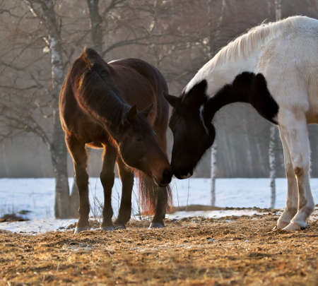Two horses in different colors (bay and pinto ) in rays of winter evening sunset. Banco de Imagens