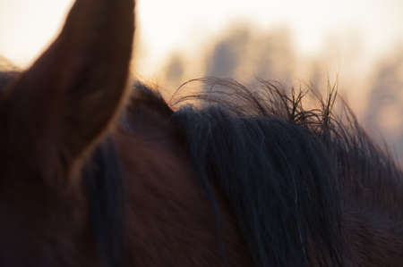 Closeup of bay horse mane and ear in the rays of evening sunset Banco de Imagens