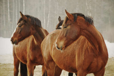 Portrait of three chestnut horses in winter looking in the same direction. Banco de Imagens