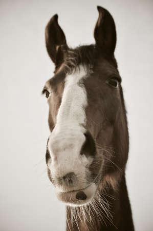 Monochrome portrait of chestnut horse with white blaze Banco de Imagens