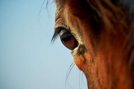 Closeup of chestnut horse eye in the rays of evening sun.