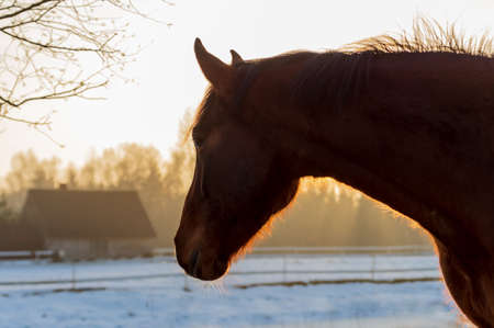 Portrait of beautiful chestnut horse looking to the house in rays of winter evening sunset.