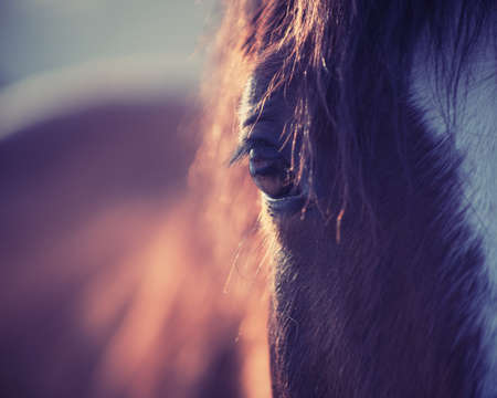 Closeup of chestnut horse with white stripe in the rays of evening sun Banco de Imagens