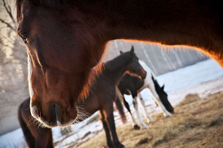 Closeup of beautiful chestnut horse with white blaze in rays of winter evening sunset. Banco de Imagens