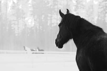 Monochrome image of beautiful horse with white blaze looking to the other horses in winter evening.