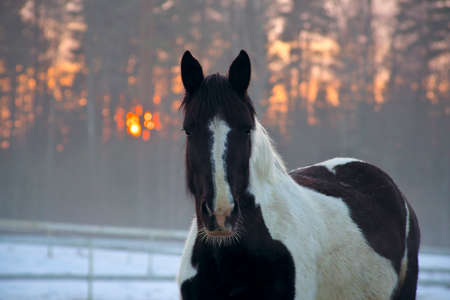 Portrait of beautiful pinto horse in rays of winter evening sunset.