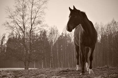 Monochrome image of portrait of beautiful horse with white blaze and white socks.