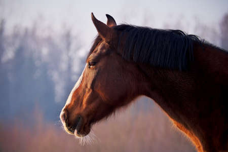 Portrait of beautiful chestnut horse with white blaze in rays of winter evening sunset. Banco de Imagens