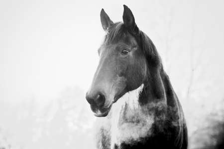 Monochrome portrait on beautiful horse in cold weather in winter. Banco de Imagens